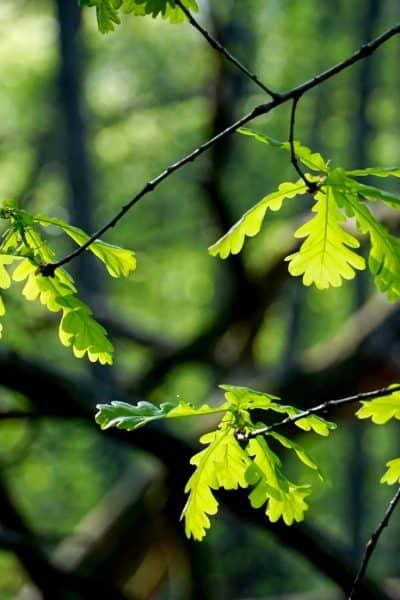 Hojas de árbol